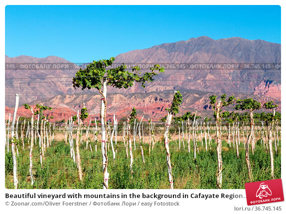 Beautiful vineyard with mountains in the background in Cafayate Region... Стоковое фото, фотограф Zoonar.com/Oliver Foerstner / easy Fotostock / Фотобанк Лори