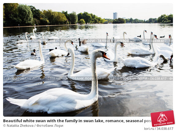 Купить «Beautiful white swan with the family in swan lake, romance, seasonal postcard.», фото № 34038617, снято 25 августа 2017 г. (c) Nataliia Zhekova / Фотобанк Лори