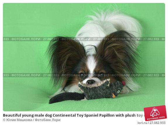 Купить «Beautiful young male dog Continental Toy Spaniel Papillon with plush toy on green background», фото № 27082933, снято 9 октября 2017 г. (c) Юлия Машкова / Фотобанк Лори