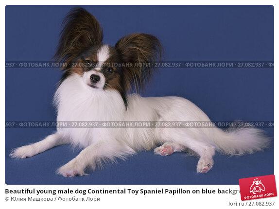 Купить «Beautiful young male dog Continental Toy Spaniel Papillon on blue background», фото № 27082937, снято 9 октября 2017 г. (c) Юлия Машкова / Фотобанк Лори
