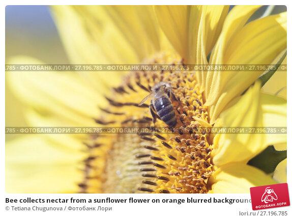 Купить «Bee collects nectar from a sunflower flower on orange blurred background, banner for website.Blurred space for your text.», фото № 27196785, снято 30 июля 2017 г. (c) Tetiana Chugunova / Фотобанк Лори