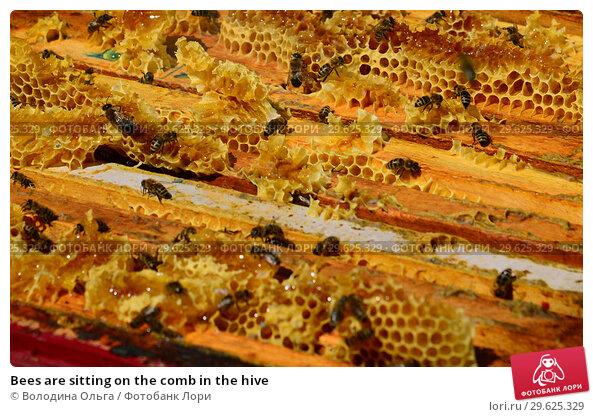 Купить «Bees are sitting on the comb in the hive», фото № 29625329, снято 7 августа 2017 г. (c) Володина Ольга / Фотобанк Лори