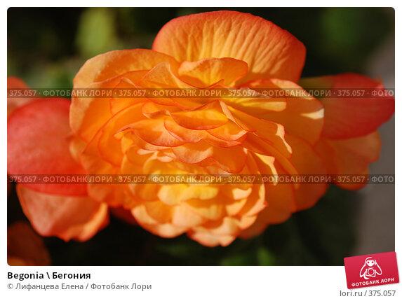 Купить «Begonia \ Бегония», фото № 375057, снято 25 июля 2008 г. (c) Лифанцева Елена / Фотобанк Лори