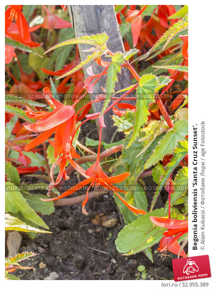 Begonia boliviensis 'Santa Cruz Sunset'. Стоковое фото, фотограф Alain Kubacsi / age Fotostock / Фотобанк Лори