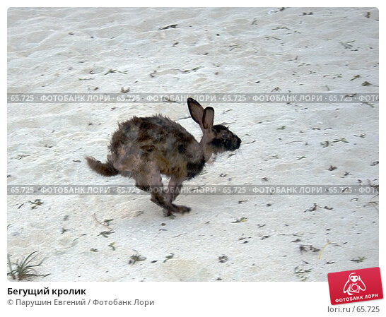 Бегущий кролик, фото № 65725, снято 27 марта 2017 г. (c) Парушин Евгений / Фотобанк Лори