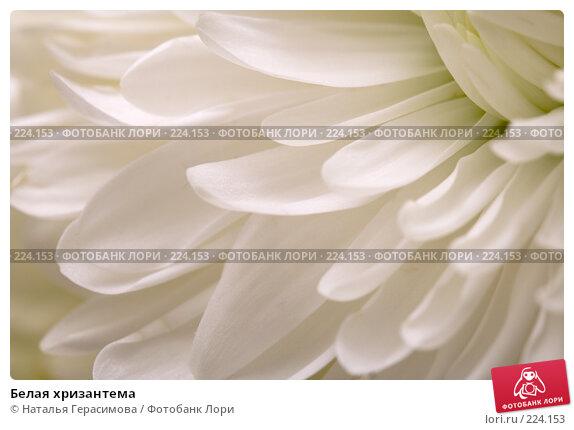 Купить «Белая хризантема», фото № 224153, снято 15 марта 2008 г. (c) Наталья Герасимова / Фотобанк Лори