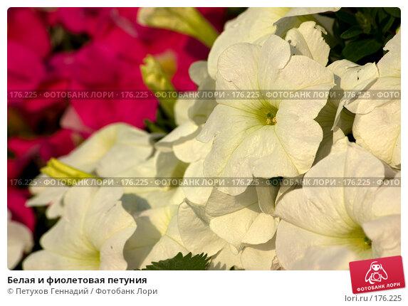 Белая и фиолетовая петуния, фото № 176225, снято 24 июля 2007 г. (c) Петухов Геннадий / Фотобанк Лори