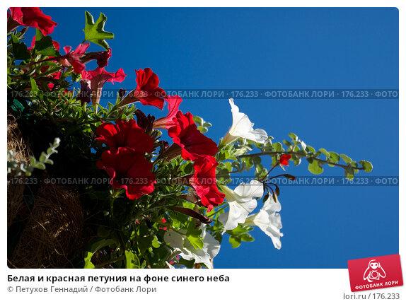Белая и красная петуния на фоне синего неба, фото № 176233, снято 23 июня 2007 г. (c) Петухов Геннадий / Фотобанк Лори