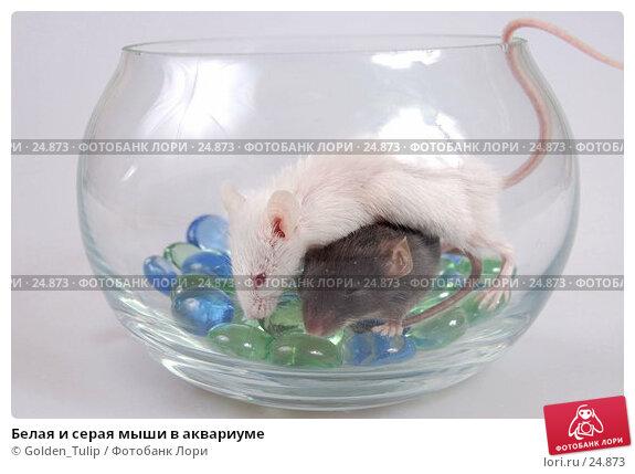 Белая и серая мыши в аквариуме, фото № 24873, снято 18 марта 2007 г. (c) Golden_Tulip / Фотобанк Лори