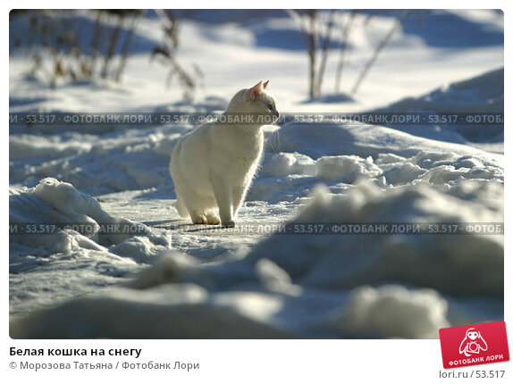 Белая кошка на снегу, фото № 53517, снято 15 января 2006 г. (c) Морозова Татьяна / Фотобанк Лори
