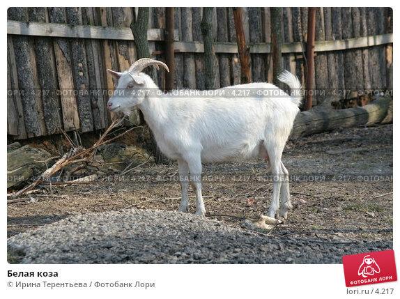 Белая коза, эксклюзивное фото № 4217, снято 1 мая 2006 г. (c) Ирина Терентьева / Фотобанк Лори