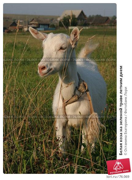 Белая коза на зеленой траве летним днем, фото № 76069, снято 18 августа 2007 г. (c) Останина Екатерина / Фотобанк Лори
