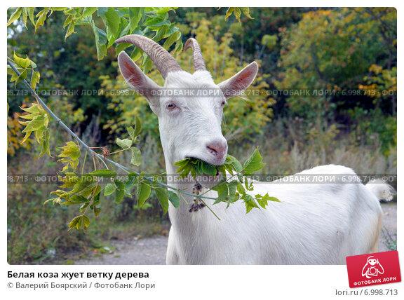 Купить «Белая коза жует ветку дерева», фото № 6998713, снято 7 сентября 2014 г. (c) Валерий Боярский / Фотобанк Лори