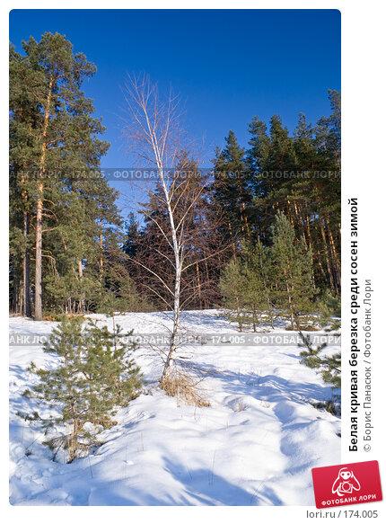 Белая кривая березка среди сосен зимой, фото № 174005, снято 31 декабря 2007 г. (c) Борис Панасюк / Фотобанк Лори