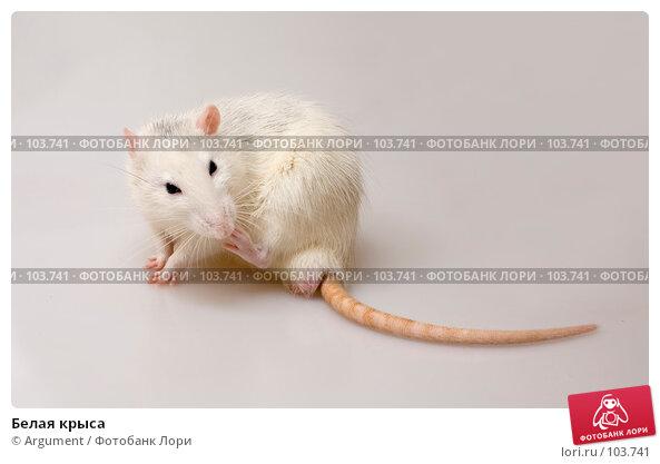 Белая крыса, фото № 103741, снято 30 марта 2017 г. (c) Argument / Фотобанк Лори