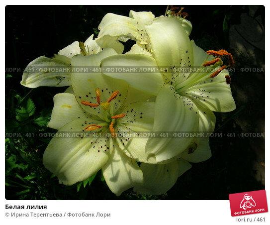 Белая лилия, эксклюзивное фото № 461, снято 1 августа 2004 г. (c) Ирина Терентьева / Фотобанк Лори