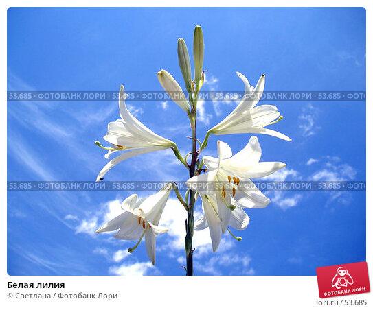 Белая лилия, фото № 53685, снято 10 июня 2007 г. (c) Светлана / Фотобанк Лори