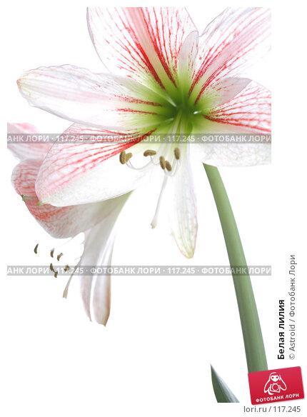 Белая лилия, фото № 117245, снято 7 апреля 2007 г. (c) Astroid / Фотобанк Лори