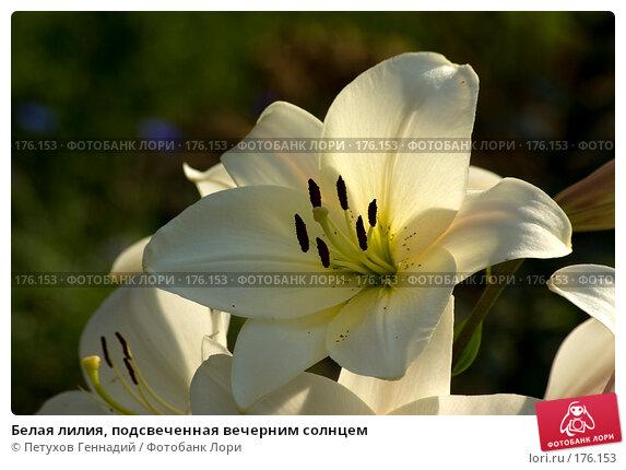 Белая лилия, подсвеченная вечерним солнцем, фото № 176153, снято 24 июля 2007 г. (c) Петухов Геннадий / Фотобанк Лори