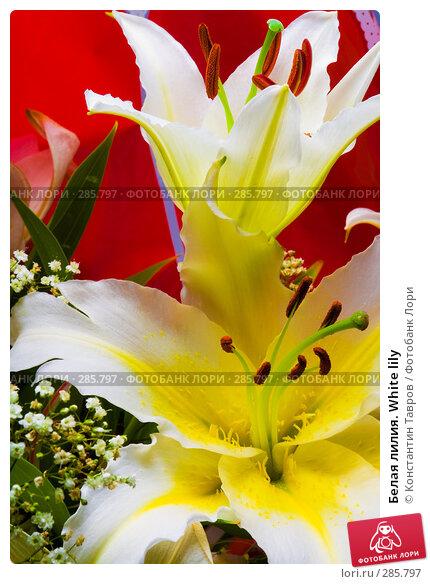Белая лилия. White lily, фото № 285797, снято 13 июля 2007 г. (c) Константин Тавров / Фотобанк Лори