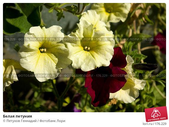 Купить «Белая петуния», фото № 176229, снято 23 июня 2007 г. (c) Петухов Геннадий / Фотобанк Лори