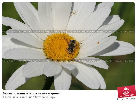 Белая ромашка и оса летним днем, фото № 71037, снято 12 августа 2007 г. (c) Останина Екатерина / Фотобанк Лори