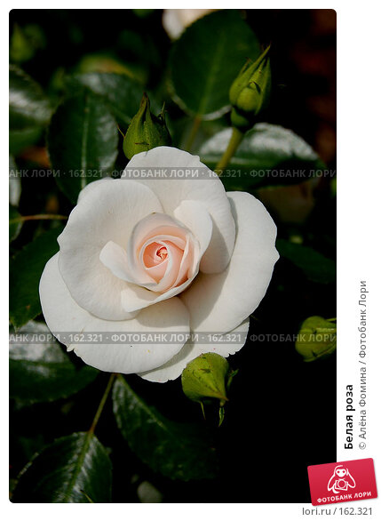 Белая роза, фото № 162321, снято 7 августа 2006 г. (c) Алёна Фомина / Фотобанк Лори