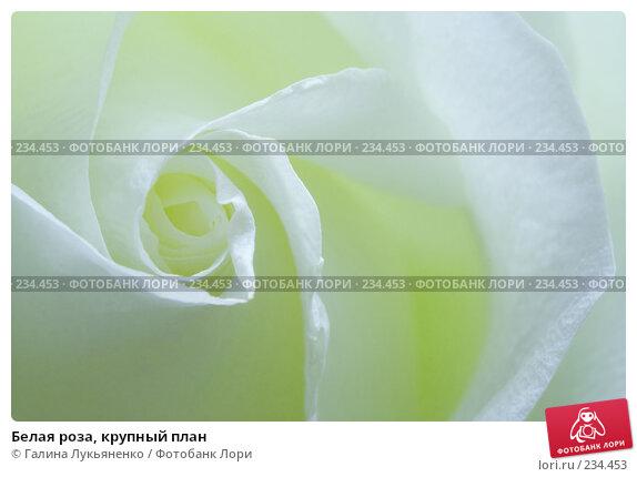 Белая роза, крупный план, фото № 234453, снято 27 марта 2008 г. (c) Галина Лукьяненко / Фотобанк Лори