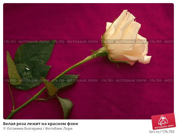 Купить «Белая роза лежит на красном фоне», фото № 176793, снято 15 января 2008 г. (c) Останина Екатерина / Фотобанк Лори