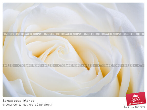 Белая роза. Макро., фото № 165333, снято 2 января 2008 г. (c) Олег Селезнев / Фотобанк Лори