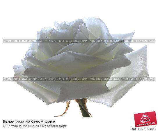 Купить «Белая роза на белом фоне», фото № 107809, снято 22 марта 2018 г. (c) Светлана Кучинская / Фотобанк Лори