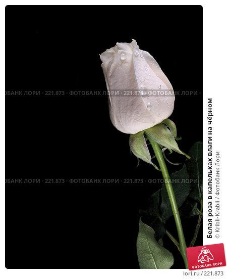 Белая роза в капельках влаги на чёрном, фото № 221873, снято 22 октября 2016 г. (c) Kribli-Krabli / Фотобанк Лори