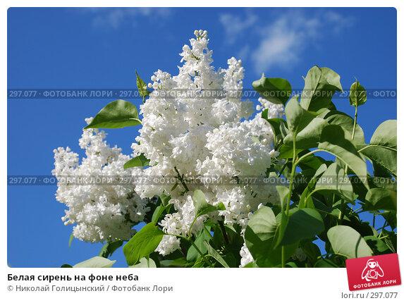 Белая сирень на фоне неба, фото № 297077, снято 14 мая 2008 г. (c) Николай Голицынский / Фотобанк Лори