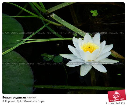 Белая водяная лилия, фото № 166729, снято 5 августа 2007 г. (c) Карелин Д.А. / Фотобанк Лори