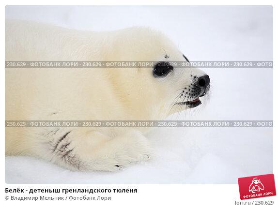Белёк - детеныш гренландского тюленя, фото № 230629, снято 11 марта 2008 г. (c) Владимир Мельник / Фотобанк Лори
