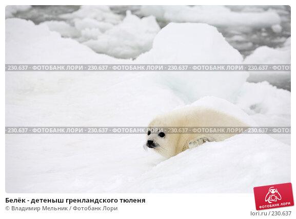 Белёк - детеныш гренландского тюленя, фото № 230637, снято 11 марта 2008 г. (c) Владимир Мельник / Фотобанк Лори
