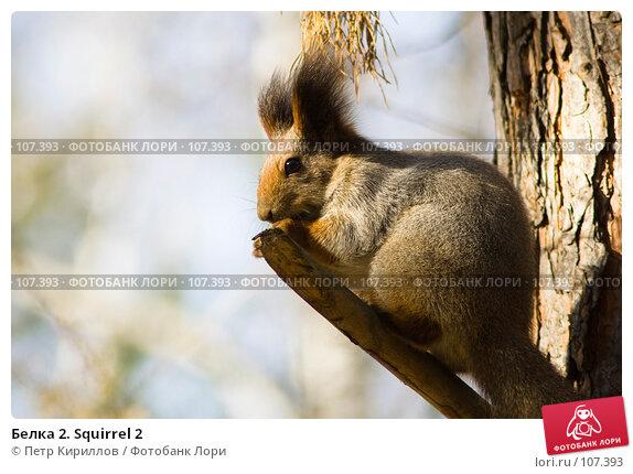 Белка 2. Squirrel 2, фото № 107393, снято 20 октября 2007 г. (c) Петр Кириллов / Фотобанк Лори