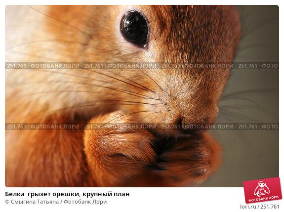 Белка  грызет орешки, крупный план, фото № 251761, снято 3 января 2007 г. (c) Смыгина Татьяна / Фотобанк Лори