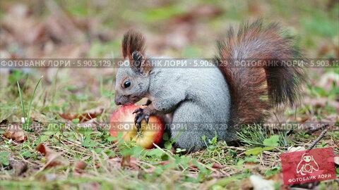 Белка кушает яблоко. Стоковое видео, видеограф Андрей Павлов / Фотобанк Лори