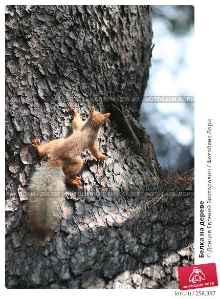 Белка на дереве, фото № 258397, снято 3 августа 2006 г. (c) Донцов Евгений Викторович / Фотобанк Лори