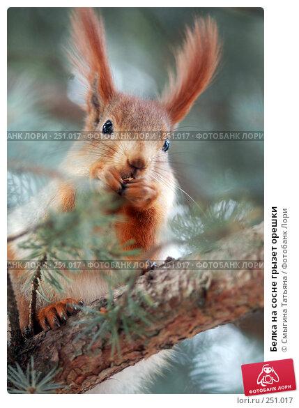 Купить «Белка на сосне грызет орешки», фото № 251017, снято 3 января 2007 г. (c) Смыгина Татьяна / Фотобанк Лори