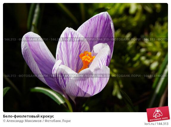 Бело-фиолетовый крокус, фото № 144313, снято 1 апреля 2007 г. (c) Александр Максимов / Фотобанк Лори