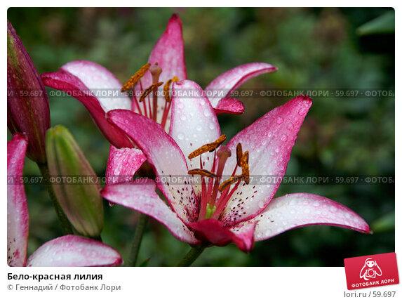 Бело-красная лилия, фото № 59697, снято 7 июля 2007 г. (c) Геннадий / Фотобанк Лори