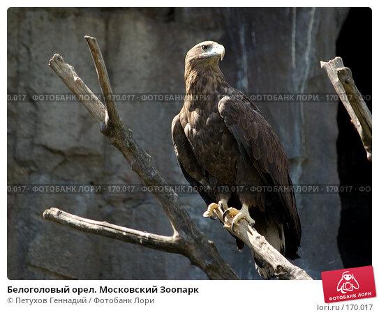 Белоголовый орел. Московский Зоопарк, фото № 170017, снято 23 июня 2007 г. (c) Петухов Геннадий / Фотобанк Лори