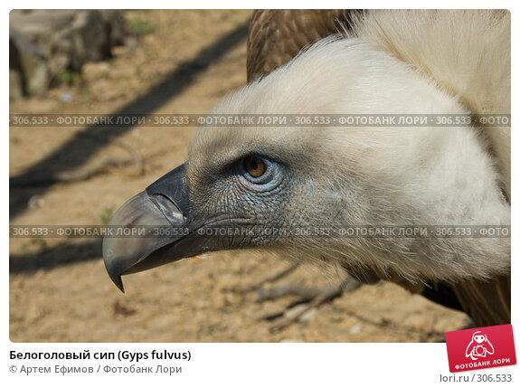Белоголовый сип (Gyps fulvus), фото № 306533, снято 4 мая 2008 г. (c) Артем Ефимов / Фотобанк Лори