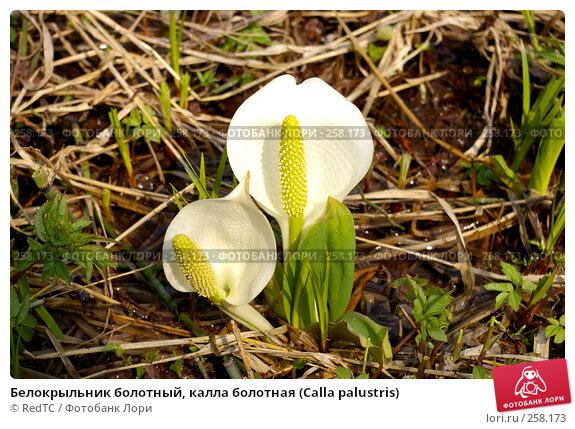 Белокрыльник болотный, калла болотная (Calla palustris), фото № 258173, снято 21 апреля 2008 г. (c) RedTC / Фотобанк Лори