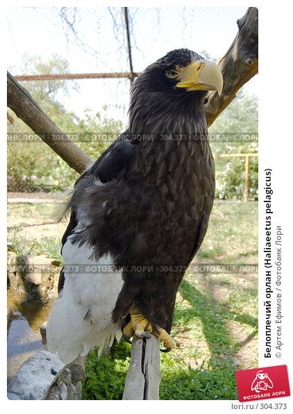 Белоплечий орлан (Haliaeetus pelagicus), фото № 304373, снято 4 мая 2008 г. (c) Артем Ефимов / Фотобанк Лори