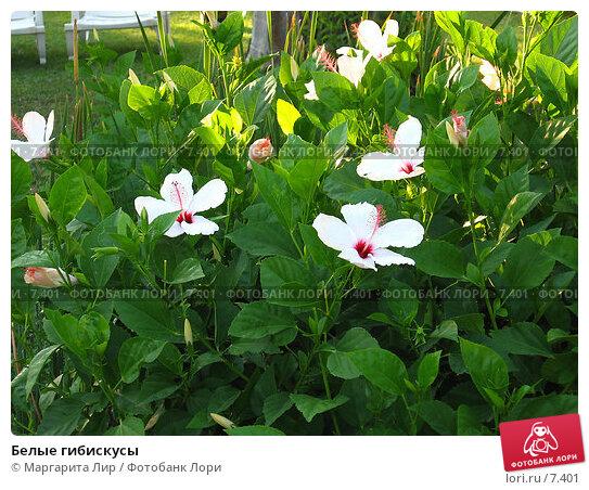 Купить «Белые гибискусы», фото № 7401, снято 8 июля 2006 г. (c) Маргарита Лир / Фотобанк Лори