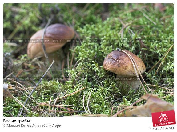 Белые грибы, фото № 119965, снято 23 сентября 2007 г. (c) Михаил Котов / Фотобанк Лори