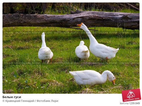 Белые гуси, фото № 239849, снято 20 января 2017 г. (c) Кравецкий Геннадий / Фотобанк Лори